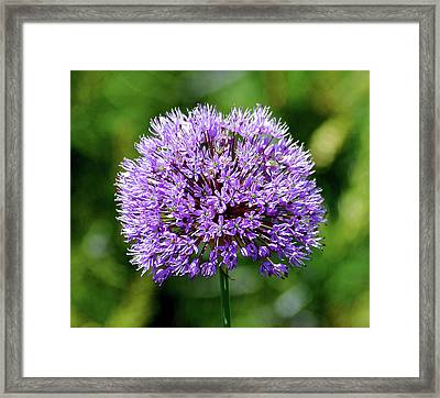 Purple Allium Framed Print