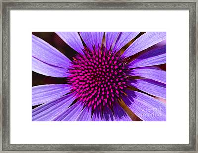 Purple And Pink Daisy Framed Print