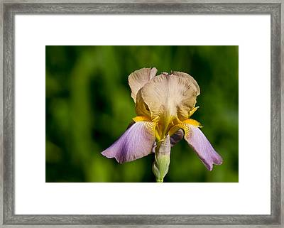 Purple And Yellow Iris Framed Print by Edward Myers