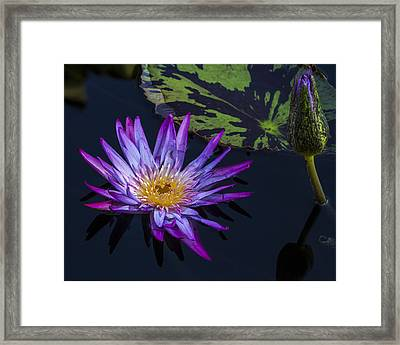 Purple And Yellow Water Lily Framed Print by Lindley Johnson