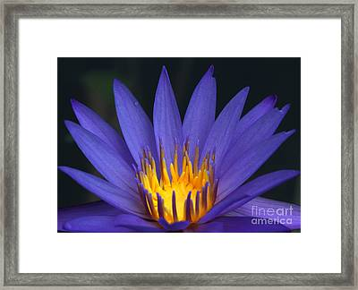 Purple And Yellow Water Lily Framed Print by Sabrina L Ryan