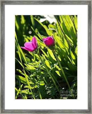 Purple Anemone Framed Print by Arik Baltinester