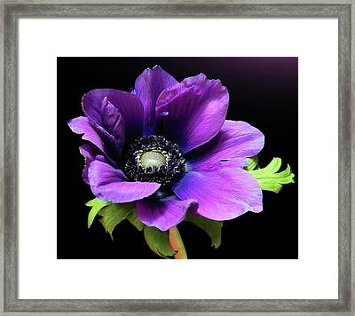Purple Anemone Flower Framed Print by Gitpix