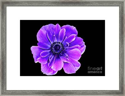 Purple Anemone Flower Framed Print