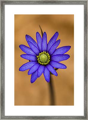 Purple Anemone Framed Print