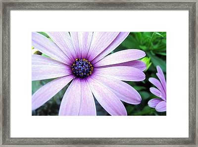 Purple Aster Framed Print
