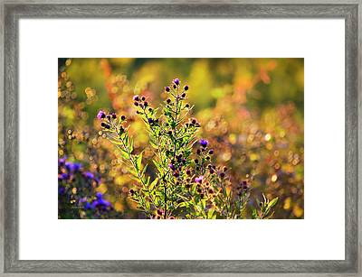 Purple Aster Flowers Framed Print