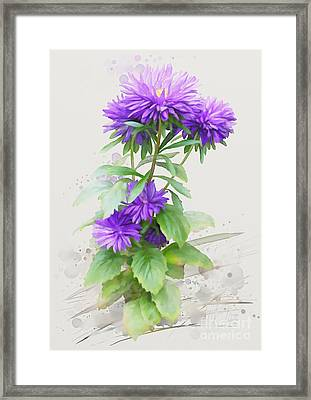 Purple Aster Framed Print by Ivana