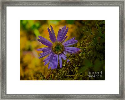 Purple Aster On Forest Floor Framed Print by John Roberts