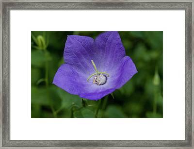 Purple Balloon Flower Framed Print