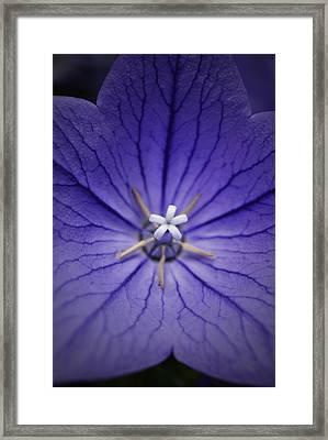 Purple Balloon Flower Framed Print by Richard Andrews