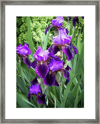 Purple Bearded Irises Framed Print by Penny Lisowski