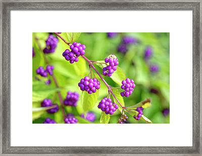 Purple Berries Framed Print