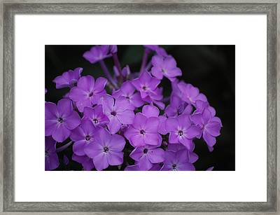 Purple Blossoms Framed Print by David Lane