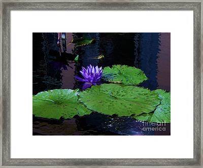 Purple Blue  Lily Framed Print by Eric  Schiabor