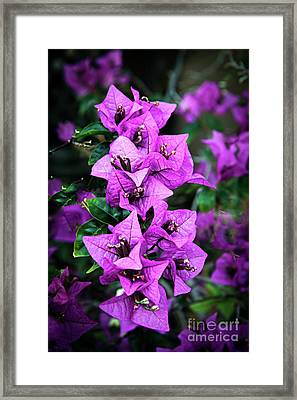 Framed Print featuring the photograph Purple Bougainvillea by Robert Bales