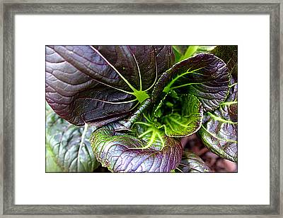 Purple Cabbage Framed Print by Mindy Newman