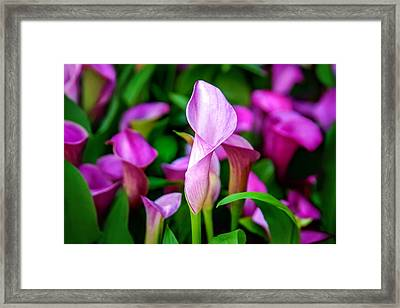 Purple Calla Lilies Framed Print by Az Jackson
