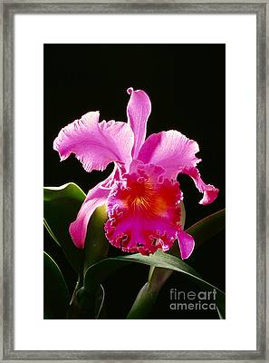 Purple Cattleya Framed Print by Tomas del Amo - Printscapes