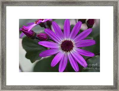 Purple Cineraria Flower And Buds 2016 Framed Print by Karen Adams