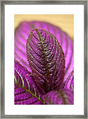 Purple Coleus Framed Print by Carolyn Marshall