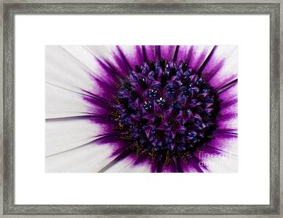 Purple Color Burst Framed Print by Michael Herb