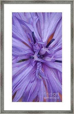 Purple Colorado Wildflower In Macro Framed Print