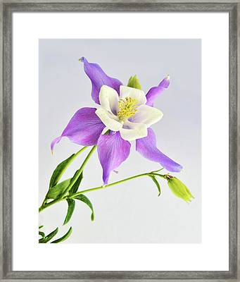Framed Print featuring the photograph  Purple Columbine by Ann Bridges