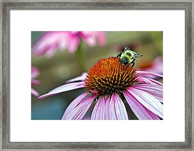 Purple Cone Flower And Bee Framed Print