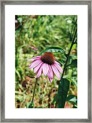 Purple Coneflower Framed Print by Cheryl Martin