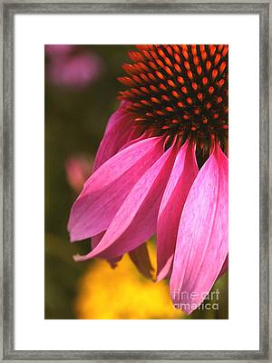 Purple Coneflower Close-up Framed Print