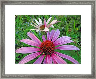 Purple Coneflowers Framed Print by Barbara McDevitt