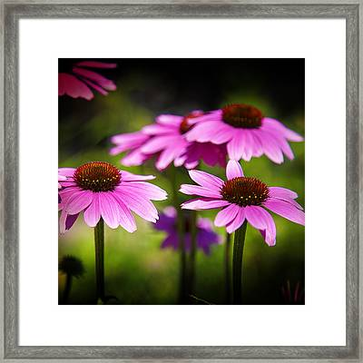 Purple Coneflowers Framed Print