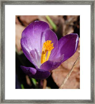 Purple Crocus Framed Print by David Lane