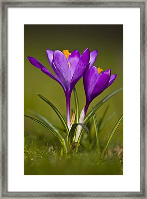Purple Crocus Framed Print by Gabor Pozsgai