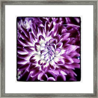 Framed Print featuring the photograph Purple Dahlia. A Color Variation Of The by Mr Photojimsf