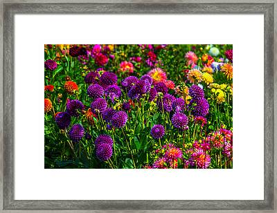 Purple Dahlias Framed Print by Garry Gay