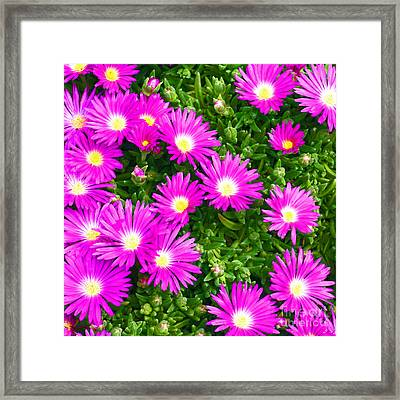 Framed Print featuring the photograph Delosperma Lavisiae by Craig B