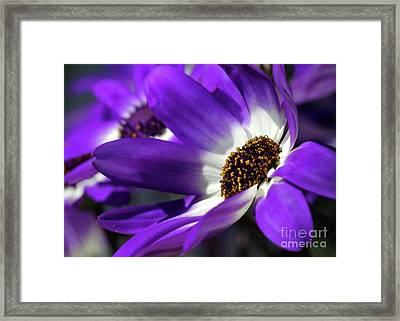 Purple Daisy Framed Print by Sabrina L Ryan