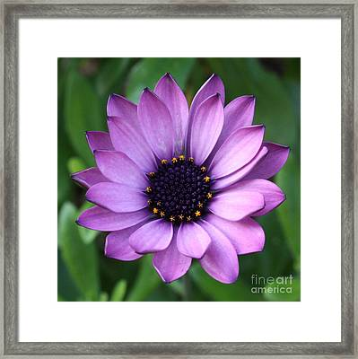 Purple Daisy Square Framed Print