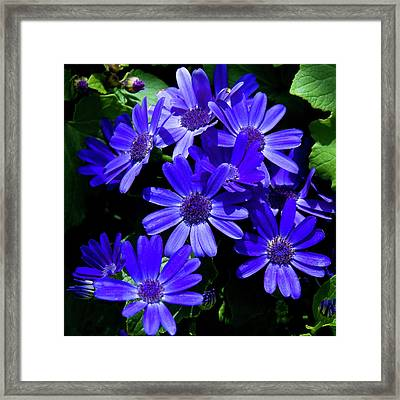 Purple Daisy Framed Print by Thanh Thuy Nguyen