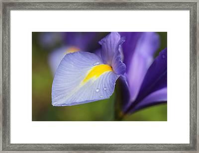 Purple Dutch Iris Flower Macro Framed Print by Jennie Marie Schell