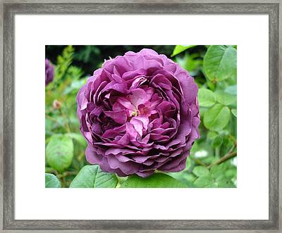 Purple English Rose Framed Print