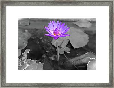 Purple Enlightened Lotus Framed Print