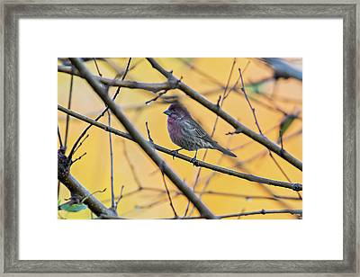 Purple Finch Bird Sitting On Tree Branch With Yellow Background Framed Print