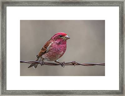 Framed Print featuring the photograph Purple Finch On Barbwire by Paul Freidlund