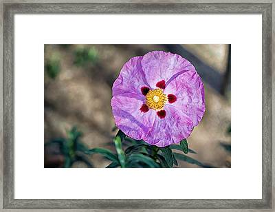 Purple Rockrose Framed Print