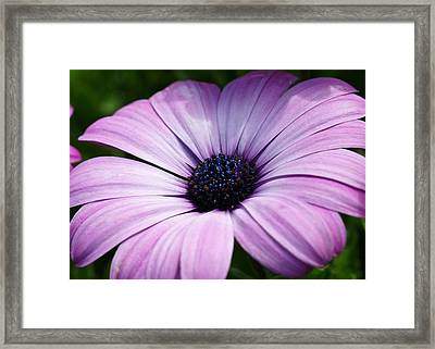 Purple Flower Macro Framed Print