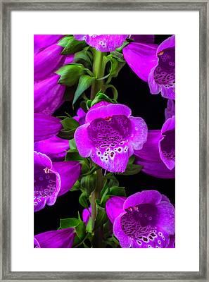 Purple Foxglove Framed Print
