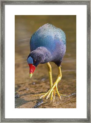 Purple Gallinule Bigfoot Framed Print